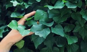 planta-de-hiedra