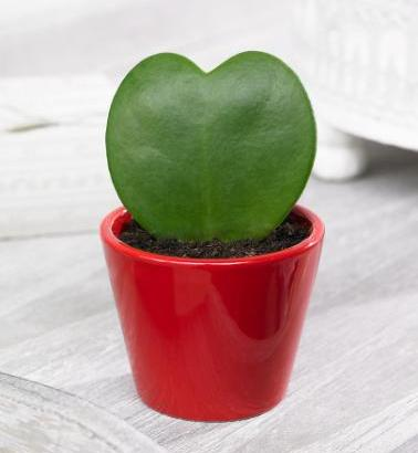 Hoya Kerrii o cactus corazón
