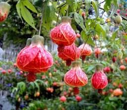 Abutilon striatum.  Abutilón variegado (Brasil)