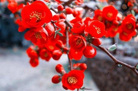 Membrillo de flor o japonés