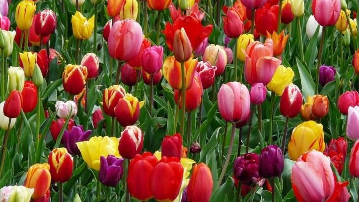 Cómo plantar tulipanes