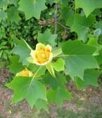 árbol de las tulipas