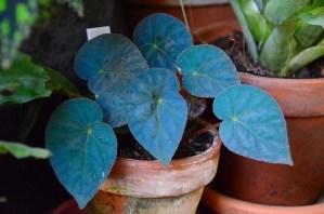 begonia-pavonina