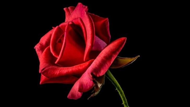 Características de la rosa Red Naomi