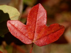 Hoja Arce otoño