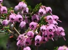 ericacanaliculata1