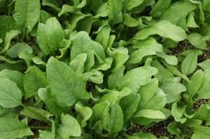 plantas-de-espinacas