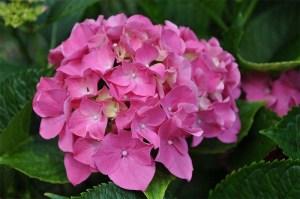 hortensia-drfyw