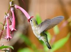 Polinizacion_colibri