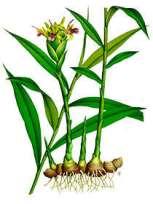jengibre-planta-zingiberaceas