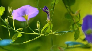 flor-de-la-arveja