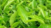 Descubren el genoma de la planta del té