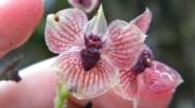 Telipogon diabolicus, una nueva orquídea