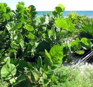 Coccoloba uvifera playa