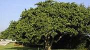 Coccoloba uvifera: uva de playa