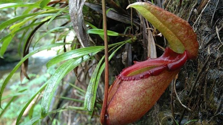 La planta carnívora más grande del mundo