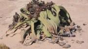 La sorprendente Welwitschia mirabilis