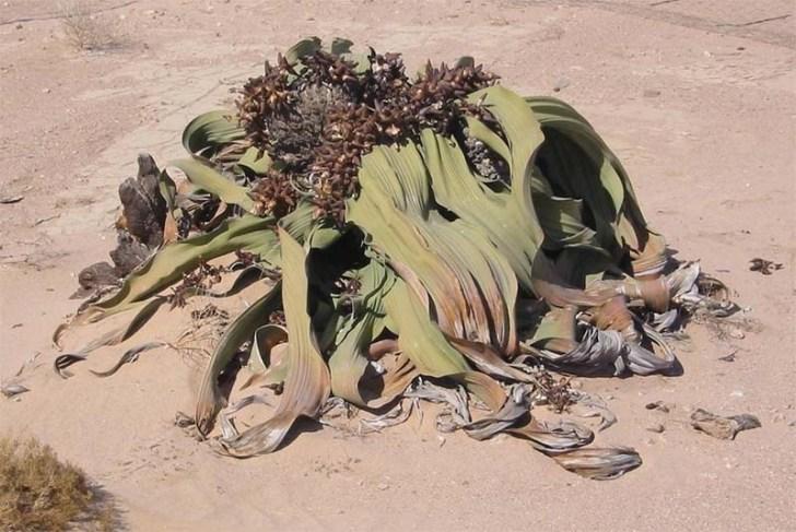welwitschia