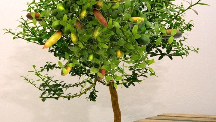 Citrus Australasica: caviar de limón