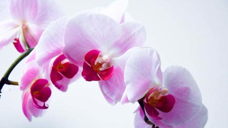 Historia de las orquídeas