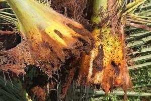 palmeras-picudo-rojo