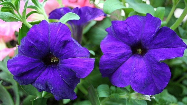 Petunias, perfectas para tu jardín