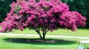 Lagerstroemia indica, floración exuberante