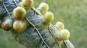 Agallas en las plantas: qué son y por qué se producen