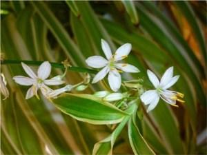 Flores cinta