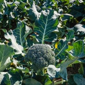 brocoli-borccoli-agroboca-s