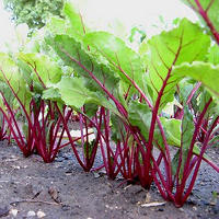 remolacha-plantacion