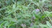 Una planta usada como forraje puede regenerar suelos agrícolas