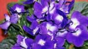 Plantas de interior: violeta africana