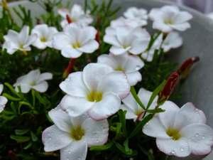 Oxalis-versicolor-Candy-Cane