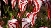 Oxalis versicolor o flor caramelo