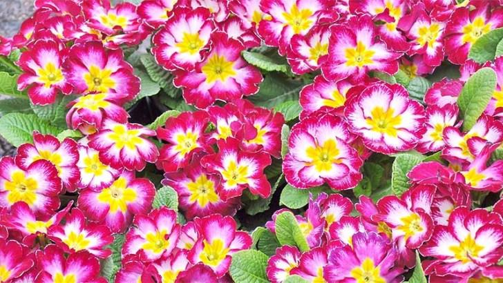 La prímula, una planta con mucho color