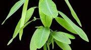 Desmonium motorium, la planta bailarina