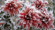 ¿Por qué las heladas matan a las plantas?