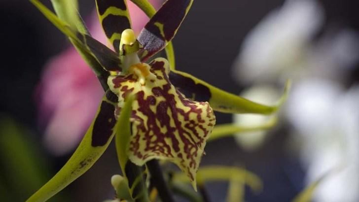 La orquídea araña podría estar en peligro