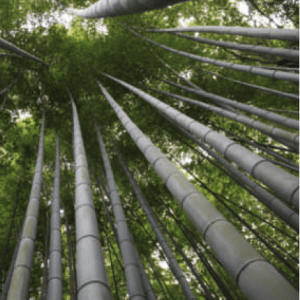 Bamboo forest image
