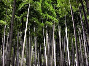 bamboo sustainable forest