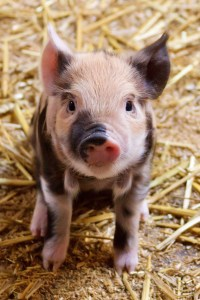 Compassionate eating. Pigs are intelligent beings with lots of personality.