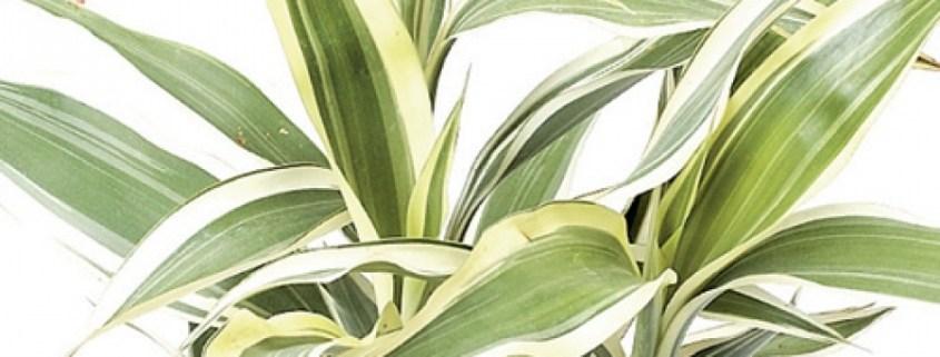 dracaena-low-light-indoor-plants