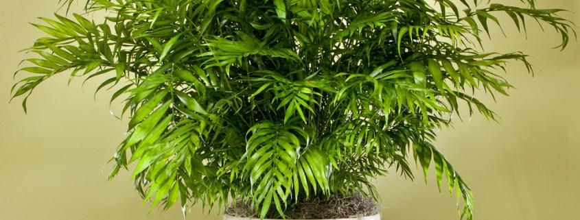 neanthe-bella-low-light-indoor-plants