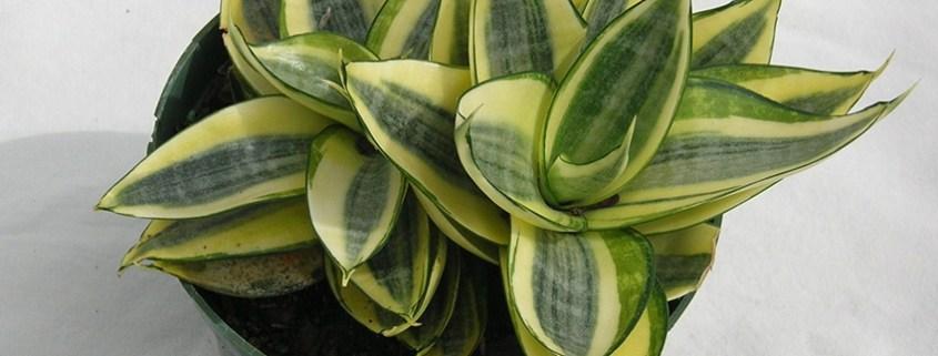 sanseviera-low-light-indoor-plants