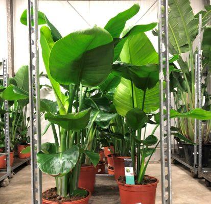 Strelitzia-Nicolai-kwekerij-planten