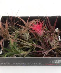 tillandsia luchtplantjes mix doosje grootverpakking voordeel