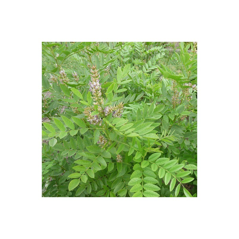 Rglisse Glycyrrhiza Glabra Aromantique 450