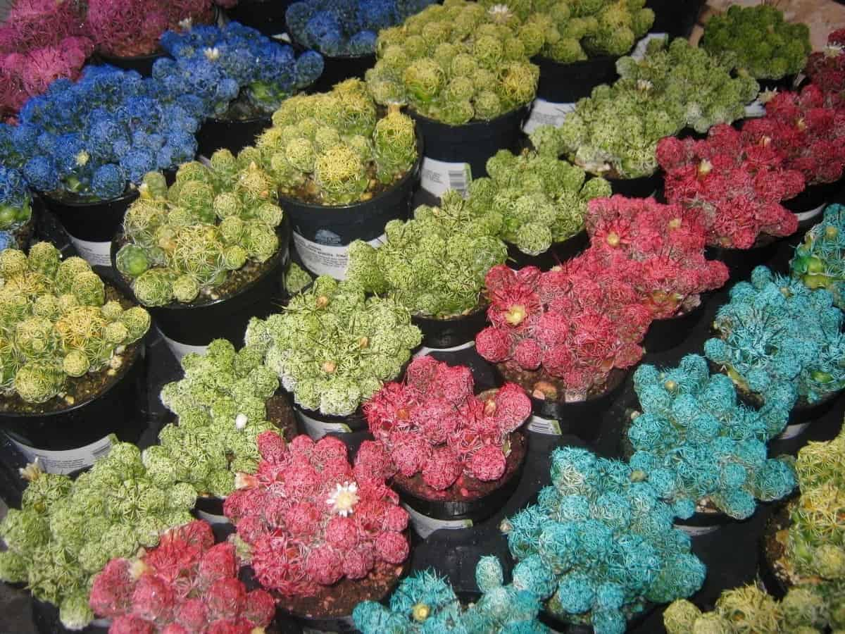How To Dye Succulents With Food Coloring Without Killing
