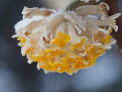 Edgeworthia chrysantha grandiflora, or the paperbush
